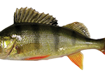 perch fishing Ireland